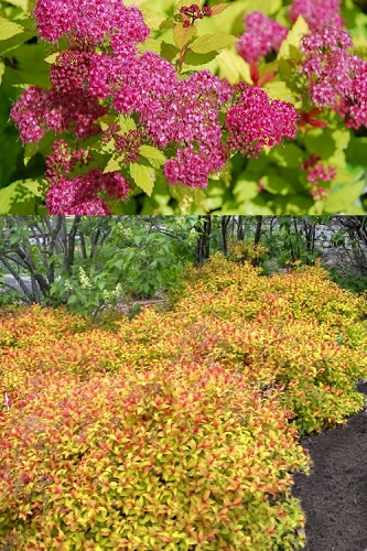Magic Carpet Spirea 1 Gallon Pot