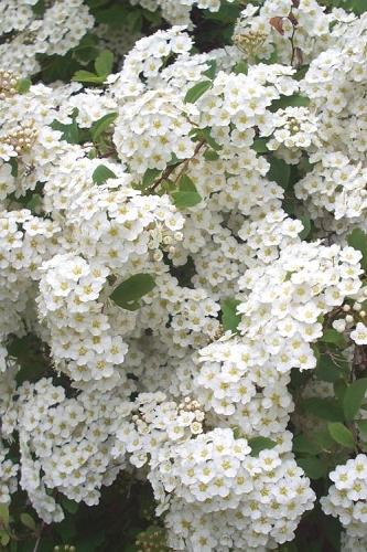 Renaissance Bridal Wreath Spirea