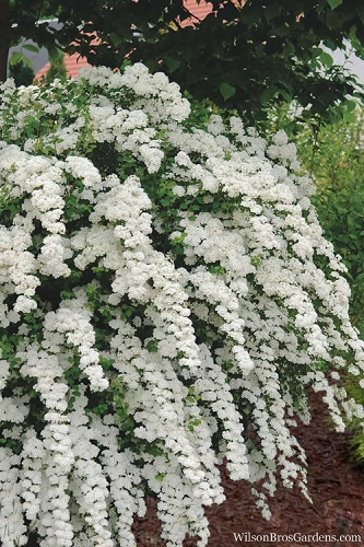 Van Houtte Bridal Wreath Spirea - 3 Gallon Pot