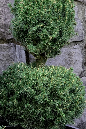 Poodle Tier Dwarf Alberta Spruce Topiary - 2 Gallon Pot