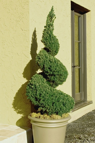 Spiral Dwarf Alberta Spruce Topiary - 2 Gallon Pot