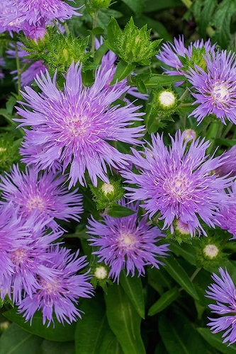 Peachie's Pick Stokesia - Stokes Aster - 2.5 Quart Pot