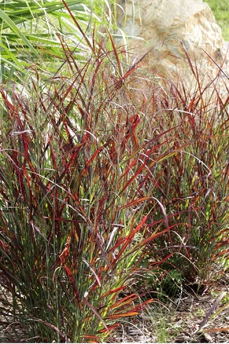 Hot Rod Switch Grass - Panicum - 1 Gallon Pot