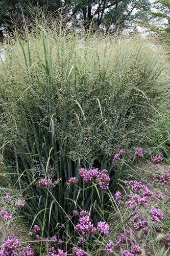 Northwind Switch Grass - Panicum virgatum - 6 Pack of 1 Gallon Pots
