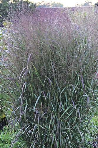 Prairie Winds Apache Rose Switch Grass - Panicum