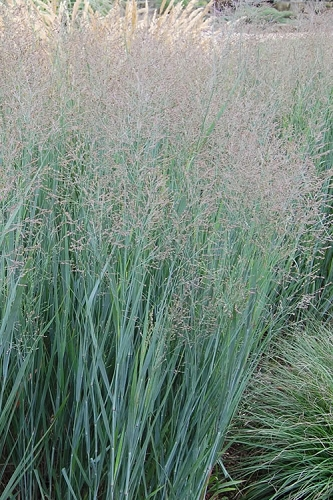 Heavy Metal Switch Grass - Panicum