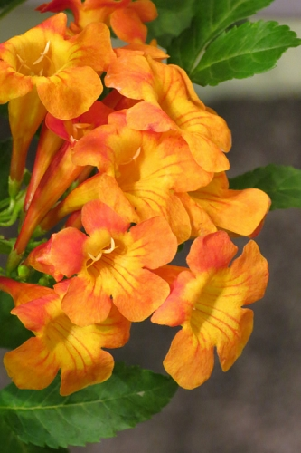 Sun Trumpet Orange Tecoma - Esperanza - 1 Gallon Pot