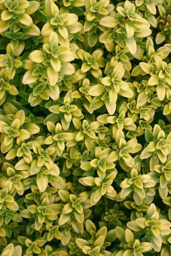 Archers Gold Lemon Thyme - Thymus citriodorus - 10 Count Flat of Quart Pots