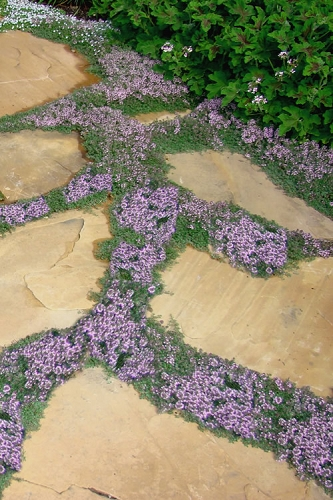 Elfin Creeping Thyme - Thymus serpyllum Elfin - 3 Pack of Pint Pots