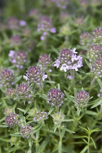 Spicy Orange Thyme - Thymus - 3.5