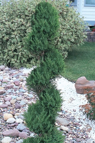 Blue Point Juniper Spiral Topiary