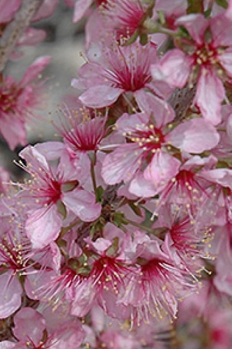 Hirome Dwarf Flowering Cherry Tree - 3 Gallon Pot