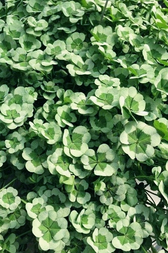 4 Luck Green Glow Trifolium (Shamrock Clover) - 5 Pack of Quart Pots