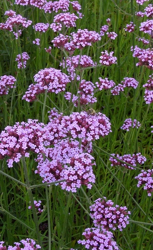 Lollipop Tall Verbena (Vervain) - 1 Gallon Pot
