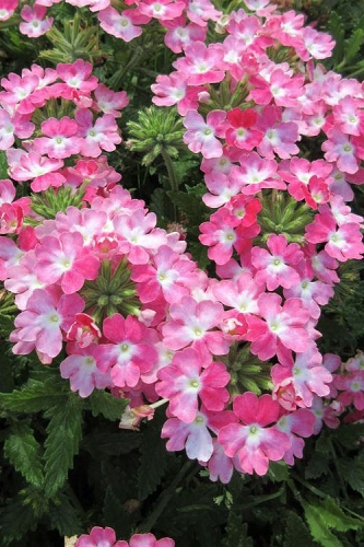 EnduraScape Pink Fizz Verbena - 5 Pack of Pint Pots