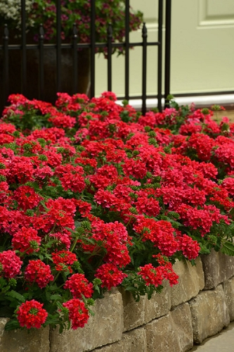 EnduraScape Red Verbena - 5