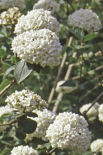 Korean Spice Fragrant Snowball Bush - Viburnum carlesii