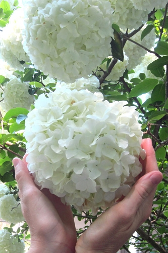 Chinese Snowball Viburnum Bush