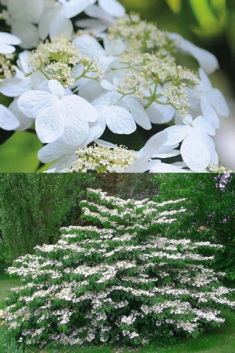 Igloo Doublefile Viburnum