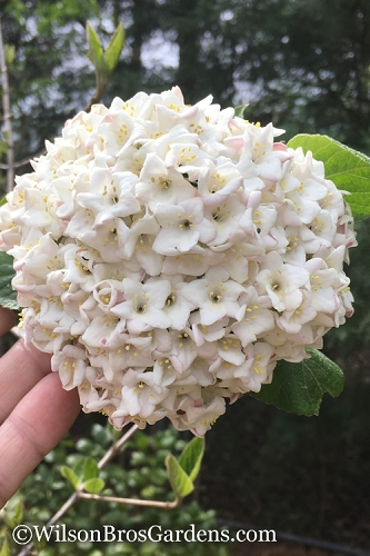 Korean Spice Fragrant Snowball Viburnum Bush - 2 Gallon Pot