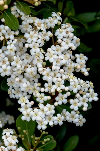 Mrs. Schiller's Delight Viburnum - 3 Gallon Pot