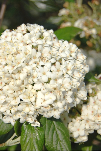 Pearlific Fragrant Snowball Viburnum Bush - 3 Gallon Pot