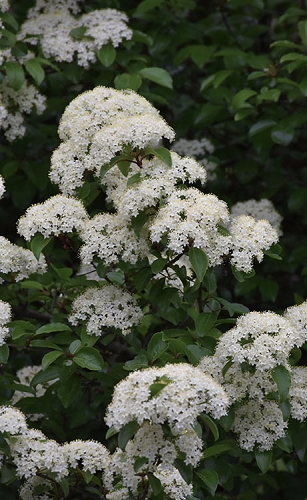 Blackhaw Viburnum - 3 Gallon Pot