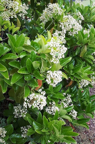 Sugar Cookie Sweet Viburnum - 3 Gallon Pot