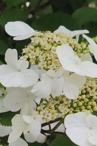 Summer Snowflake Viburnum - 1 Gallon Pot