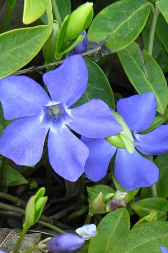 Evergreen Periwinkle - Vinca minor - 18 Count Flat of Pint Pots