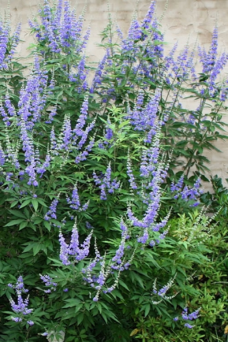 Blue Chaste Tree - Vitex agnus-castus  - 3 Gallon Pot