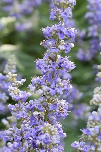 Shoal Creek Chaste Tree - Vitex agnus-castus