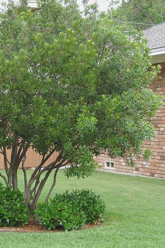 How To Plant Fertilize Prune Water Southern Wax Myrtle Wilson Bros Gardens