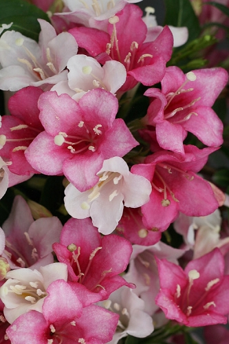 Czechmark Trilogy® Weigela - 1 Gallon Pot