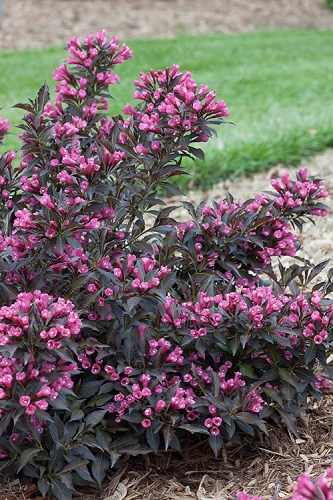 Spilled Wine Weigela - 1 Gallon Pot