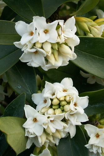 Greenleaf White Winter Daphne