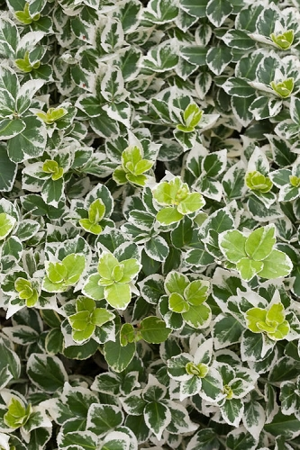White Album Wintercreeper - Euonymus fortunei - 1 Gallon Pot