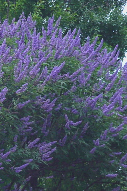 Delta Blues Chaste Tree - Vitex - 3 Gallon Pot