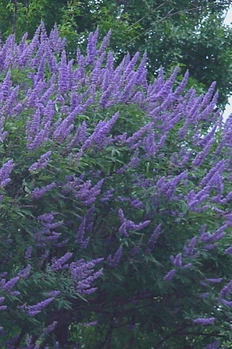 Delta Blues Chaste Tree (Vitex) - 3 Gallon Pot