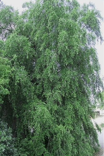 Weeping Yaupon Holly - Ilex vomitoria