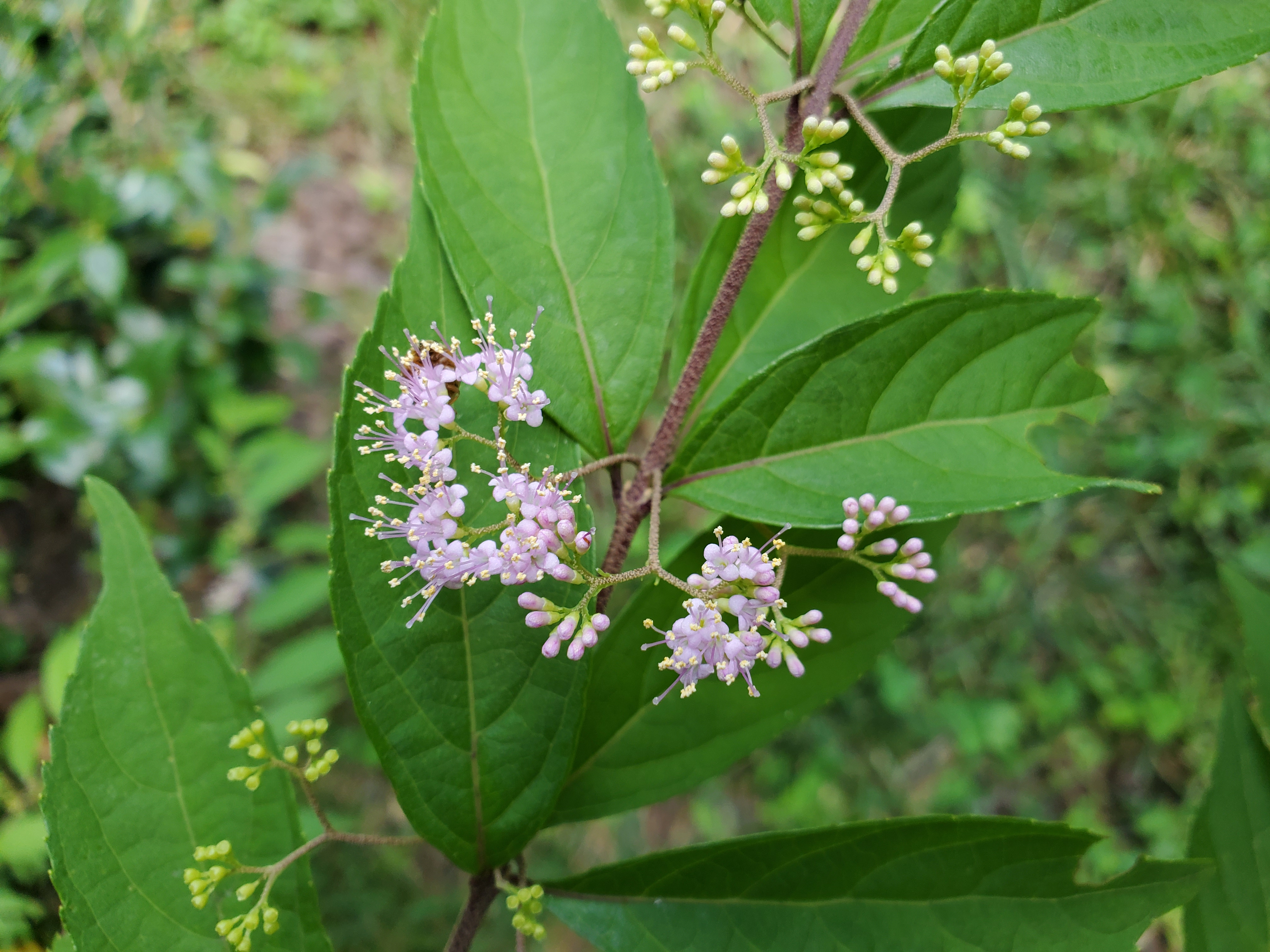 Buy Issai Purple Japanese Beautyberry - FREE SHIPPING - 3 ...