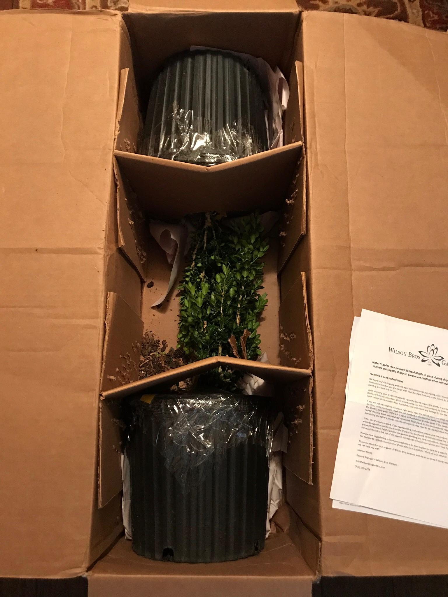 Buy Dee Runk Columnar Boxwood Plants For Sale Online From Wilson ...