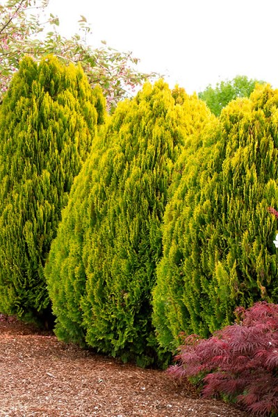 Berckmans Golden Arborvitae - 1 Gallon Pot