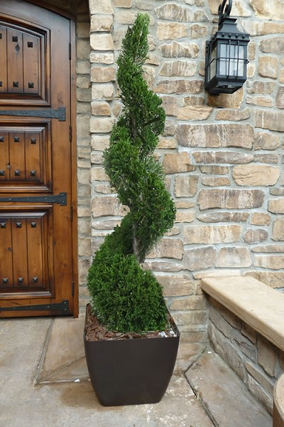 Emerald Green Arborvitae Spiral Topiary - 5 Gallon Pot
