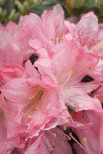 Pink Pearl Azalea - 6 Pack of 1 Gallon Pots - SALE!