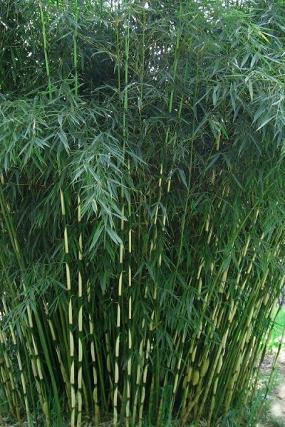 Robust Bamboo - Fargesia robusta - 3 Gallon Pot