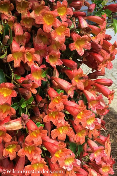 Tangerine Beauty Crossvine Bignonia - 1 Gallon Pot