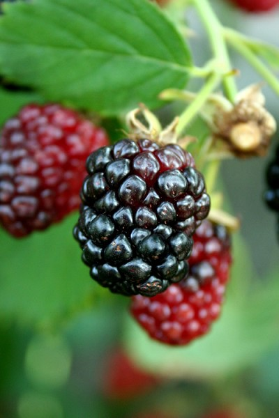 Arapaho Thornless Blackberry - 1 Gallon Pot