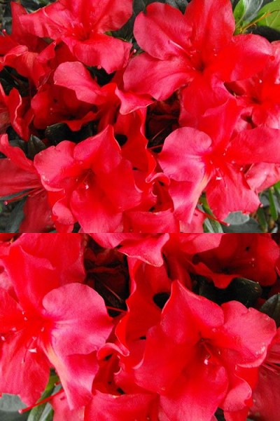 Love U Lots Bloom 'N Again Azalea