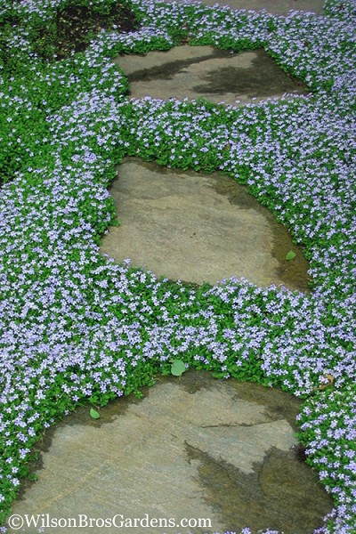 Blue Star Creeper - Laurentia axillaris - 4